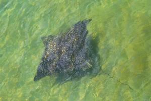 Singer Island stingray